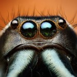 01-adult-male-jumping-spider
